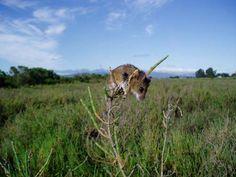 The California Salt Marsh Harvest Mouse found at the MLK Shoreline in Oakland.