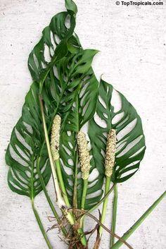 Variegated Split-leaf Philodendron (Monstera deliciosa ...