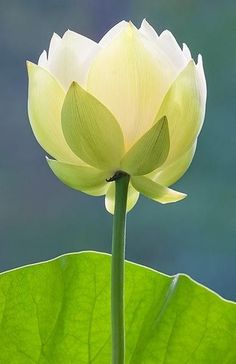 half open white lotus