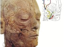 The muscles of the face are found in the superficial fascia/ subcutaneous tissue of the face. They typically originate from the bones of the skull and insert into the
