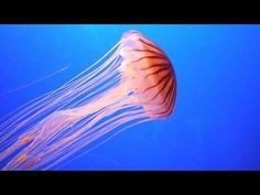 "watch a jellyfish ""dance"""