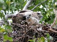 Two of Pale Male's Red Tail Hawk Babies Are Sick After Eating Rat Poison (poor babies)