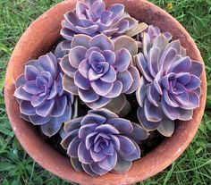 "Echeveria Perle Von Nurnberg; Beautiful round rosettes 6-10"" across present attractively overlapping blue-gray leaves with strong, pearly purple & pink overtones. Drought and shade tolerant. Coral flowers."
