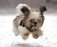cute. Shih Tzu?  Reminds me of my first shih tzu Alex.  Love those dogs.  She loved the snow like this and so does my 2nd shih tzu I currently belong to, Sadie Mae.