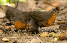 Dark-backed Wood-quail (Odontophorus melanonotus) Adults with their chick foraging on the forest floor.   the Internet Bird Collection   HBW Alive
