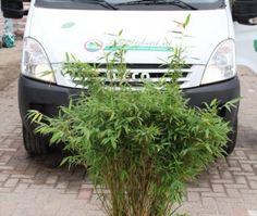 Niet woekerende Bamboe (Fargesia murieliae 'Simba') Kan in pot, aanbevolen voor een haag: 3 stuks per meter.