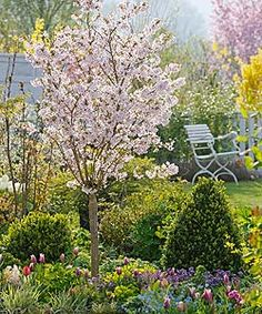 Cherry blossom Prunus incisa Kojonomai
