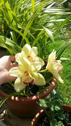 Orchidée 974