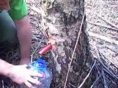 Kiedy spuszczać soki z drzew – kilka ważnych informacji | Łukasz Łuczaj Home Remedies, Birch, Food And Drink, Healthy, Remedies, Natural Home Remedies