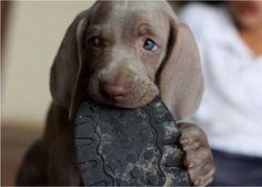 Cute puppy! Weimaraner