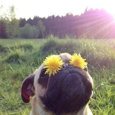 """Silly Dandelion Pug! I really feel like this pug put those flowers there herself and said, """"Look Mom!"""" LOL"""