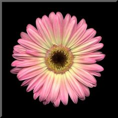Items similar to Pink and Yellow Gerbera Daisy Wall Plaque on Etsy Gerbera Daisy Tattoo, Simbolos Tattoo, Flower Drawing Tutorials, Gerber Daisies, Beautiful Flowers, Beautiful Things, Friend Tattoos, Dark Backgrounds, Botanical Art