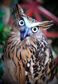 Malay Fish Owl - ©el.subash www.flickr.com