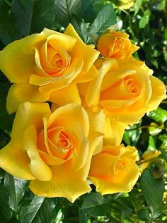Yellow Rose - Texas ♡