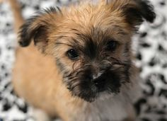 Cairn Terrier Puppy Dogs Shelter Dogs, Animal Shelter, Cairn Terrier Puppies, Raining Cats And Dogs, Dog Care, Animal Photography, Best Dogs, Dog Breeds, Cute Dogs