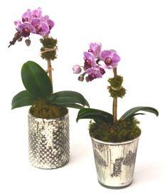 Mini Phalaenopsis Little Lady Ro Liny W Domu Pinterest
