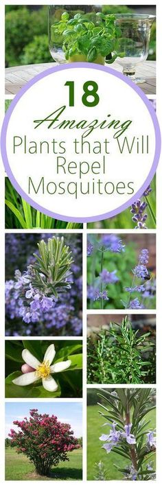 18 Amazing Plants that Will Repel Mosquitos (anti mosquito plants yards) Organic Gardening, Gardening Tips, Diy Jardim, Natural Mosquito Repellant, Diy Mosquito Repellent, Mosquito Spray, Anti Mosquito, Mosquito Repelling Plants, Deco Floral