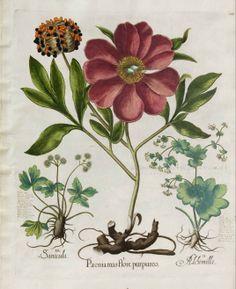 Wild Peony - Paeonia mascula - circa 1640