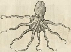 15-16th century drawing of a polypus.