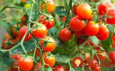 When you're starting your garden, use Epsom salt to help the seeds germinate! Just add tablespoons per seed hole or 1 cup of Epsom salt for every 100 square feet of tilled soil. If you add some Epsom salt to your soil, then this can help it. Tips For Growing Tomatoes, Growing Tomato Plants, Growing Tomatoes In Containers, Grow Tomatoes, Tomato Seedlings, Baby Tomatoes, Easy Vegetables To Grow, Easy Plants To Grow, Organic Vegetables