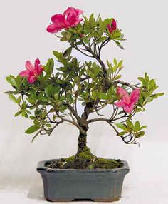 bonsai - Buscar con Google
