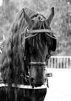 are freisen horses always black? | Horses of the World - The Friesian