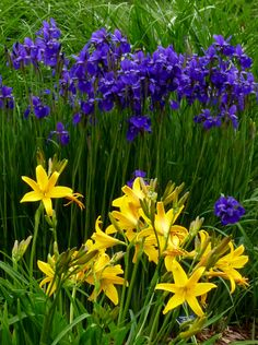 BLUE AND YELLOW;  Sibeiran Iris and Daylilies
