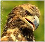 Golden Eagle I photographed in Hyder Alaska.