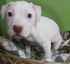 Meet Fortune, an adopted Hound & Pit Bull Terrier Mix Dog, from Shelter From The Storm in Madison, WI on Petfinder. Learn more about Fortune today. Terrier Mix Dogs, Pitbull Terrier, Puppy Training Classes, Hound Dog, Wisconsin, Pitbulls, Adoption, Southern, Puppies