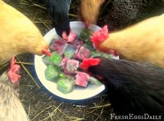 Frozen Ice Cube Treats for Chickens - Mint Helps Beat the Heat