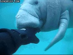 This just goes to show how caring manatees can be. GO MANATEES! | Heroic Manatee Stood Guard Over Stranded Dog Until Rescuers Came
