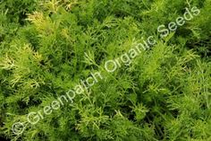 Lawn Chamomile Plants, Anthemis nobilis is a aromatic hardy perennial ground cover that makes excellent lawn substitute, pathways, lawn seats. Chamomile Lawn, Perennial Ground Cover, Hardy Perennials, Pathways, Herbs, Backyard, Plants, Yard, Paths