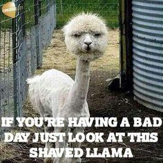 I hope you take a look at this llama, you can tell its not happy with the haircut. Please be grateful you have a good looking haircut ! what ta llama !!