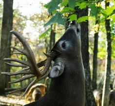 A Trail Camera Timeline for November http://www.griffinsguide.com/?p=57288 Get a plan for November deer hunting, with camera placements for each week, relevant to the changing stages of the rut.