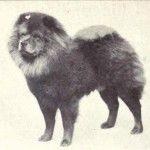 1915 chow-chow. Dog Evolution - Chow-Chow - Kutya Portál. Kutya Evolúció - Chow-Chow - Kutya Portál.