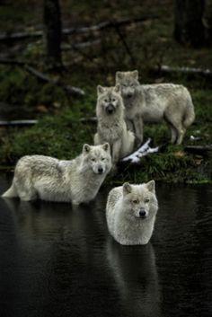 Meute de loups blancs