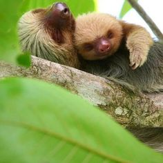 Sloth and baby - Central America