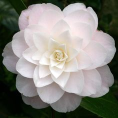 Camellia 'Diana's Charm' (japonica)