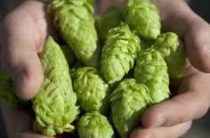 An Introduction to Growing Hops at Home