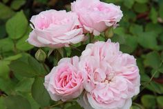 Morden Blush Rose - Rosa 'Morden Blush' - A floriferous Parkland series rose, gorgeous ivory and blush blooms. Sweetly fragrant, low-growing. Glossy green foliage; orange-red fruit in fall.  Cold hardy to zone 3  Mature height x width: 3′ x 3′ Blooms summer through autumn