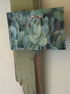Prickly pears ? now hanging up on old wood art  nicely ! Retreat in Cyprus village sanctuary  Bookings : druminspire@gmail.com