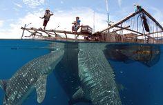 Whale_Shark