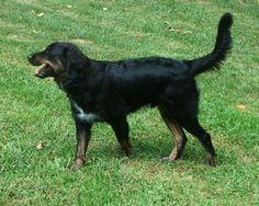 ... Retriever Australian Shepherd / Golden Retriever Hybrid Dogs More
