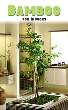 Maybe you have heard that bamboo brings luck if you have it in your house, so go ahead buy one! Here is how to care it: