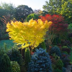 Acer palmatum 'Sango-kaku' and  Acer palmatum 'Trompenburg' Japanese maples in…