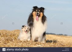 dog-rough-collie-scottish-collie-adult-and-puppy-tricolor-and-blue-D1WEAE.jpg (1300×956)