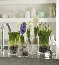 Plantas de interior - jacintos #Plantasdeinterior