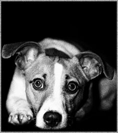 Sally...jack russell