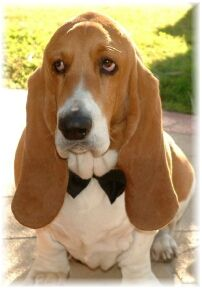 This is Sir Chester the most beautiful Bassett Hound I've ever met.  Isn't he handsome, unfortunately he was sterile!!