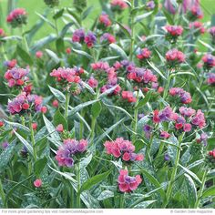 How and when to prune pulmonaria to make it look good spring through fall. From Garden Gate eNotes